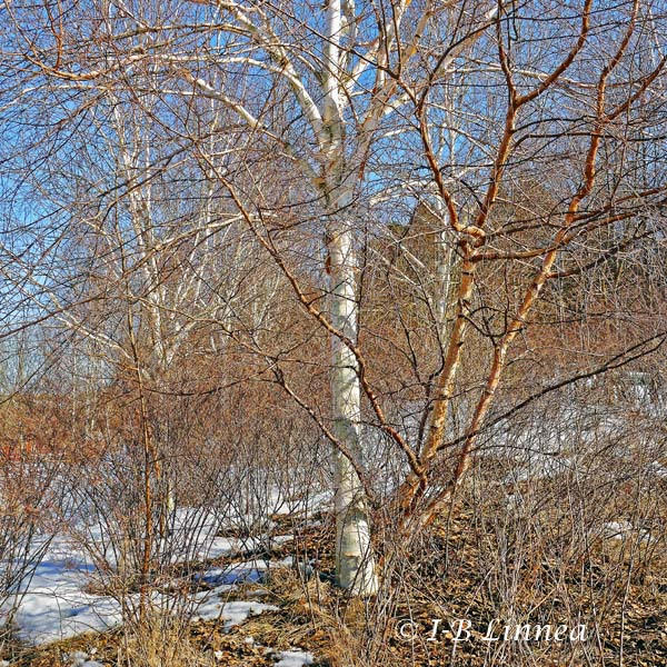 Björkar i Vinterviken