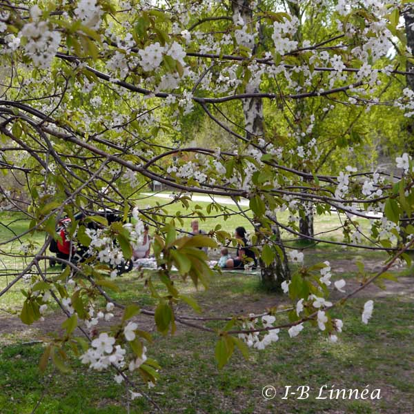 Picknick i körsbärsblom