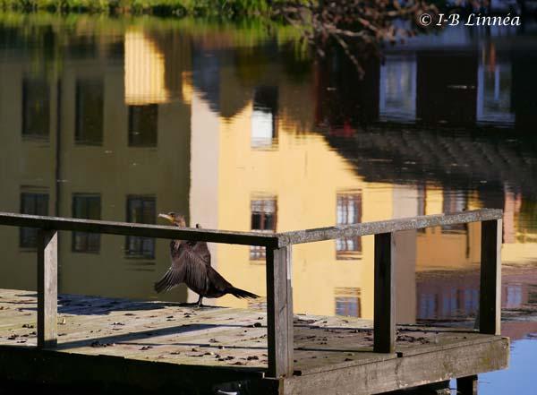 Sjöfågel på brygga