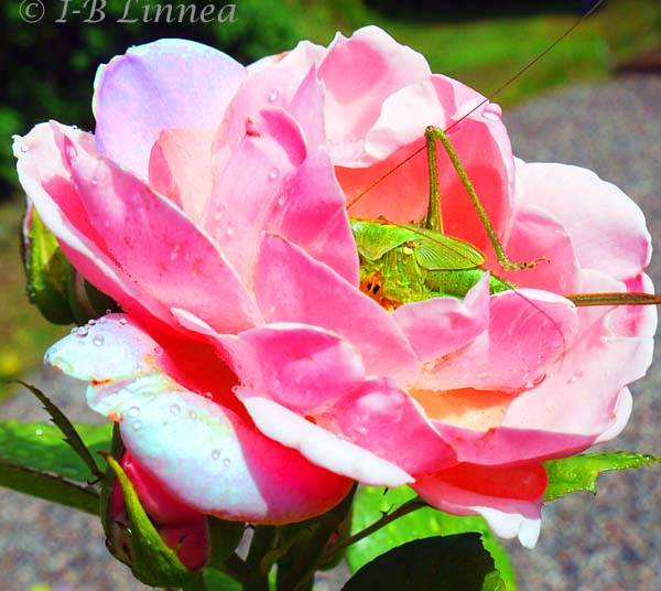1 gräshoppa o ros