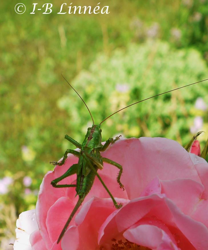 3 gräshoppa ros