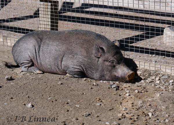 1 Sovande gris