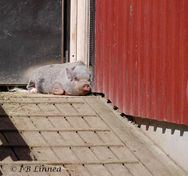 2 sovande gris wk